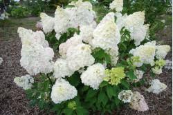 Hydrangea paniculata DIAMANTINO ® 'Ren101'