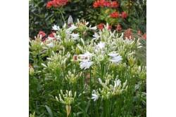 Agapanthus PITCHOUNE® White ' TUR161'