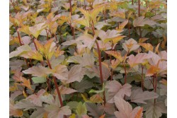 Physocarpus opulifolius DIABLE D'OR® 'Mindia'