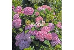 Hydrangea SO LONG ® Rosy 'COUMONT'