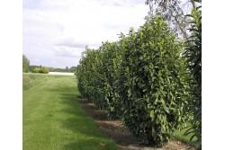 Prunus laurocerasus GENOLIA® 'Mariblon'