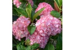 Hydrangea macrophylla SO LONG ® SUNNY 'TK02'