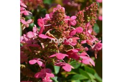 Hydrangea paniculata PRIM'RED ® 'COUHAPRIM'