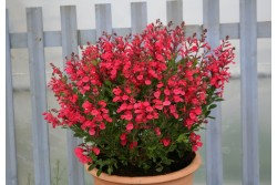Salvia x jamensis 'Flammenn'