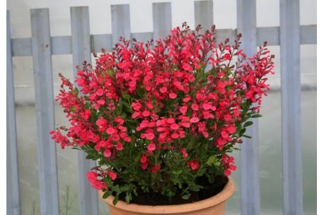 Salvia x jamensis 'Flammenn'