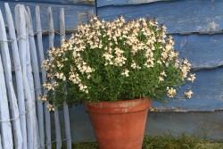Salvia x jamensis 'Melen'