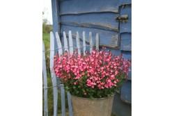 Salvia x jamensis 'Pluenn'