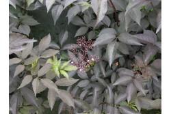 Sambucus nigra BLACK BEAUTY 'Gerda'