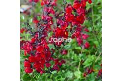 Salvia x jamensis RÊVE® ROUGE 'FAURESAL02'