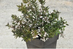 Weigelia x BLACK AND WHITE® 'Courtacad01'