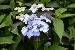 Hydrangea macrophylla DOLCE® Farfalle 'Dolfarf'