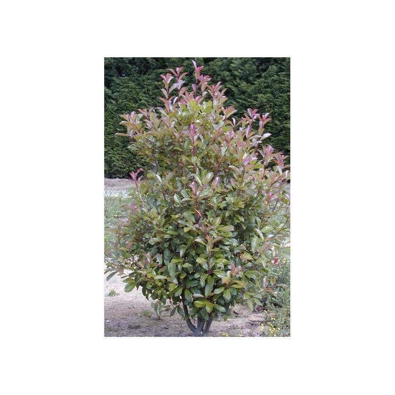 Abelia Grandiflora Gold Touch Bmr Gold Pépinières Renault