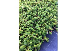 Sedum Spurium (in varieties)