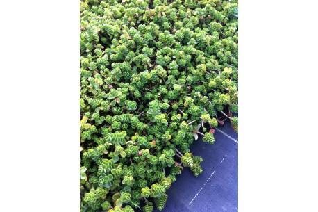 Sedum Spurium (in varieties)