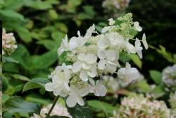 Hydrangea Paniculata PINK LADY