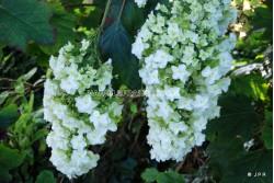 Hydrangea quercifolia harmony