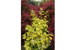 Physocarpus opulifolius Angel Gold ® 'Minange'