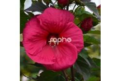 Hibiscus moscheutos PLANET® Griotte 'Tangri'