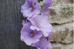 Lavatera BLUE BIRD® 'Renlav'