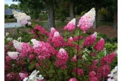 Hydrangea Paniculata FRAISE MELBA ® 'Renba'