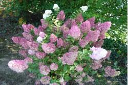 Hydrangea paniculata SUNDAE FRAISE ®  'Rensun'