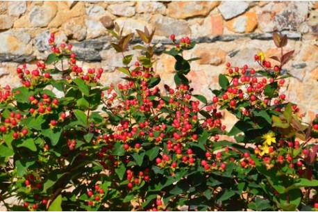 Hypericum inodorum MAGICAL® Red Fame 'Kolmaref'