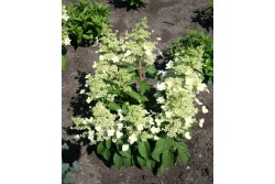 Hydrangea Paniculata MAGICAL HIMALAYA