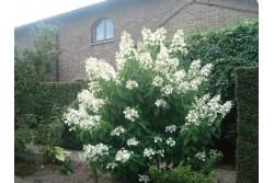 Hydrangea Paniculata LEVANA