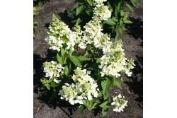 Hydrangea Paniculata MAGICAL® VESUVIO