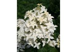 Hydrangea Paniculata MAGICAL STARLIGHT