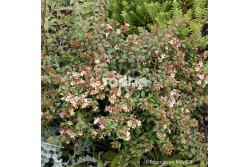 Abelia x grandiflora SUNNY CHARM® 'Minduo1'
