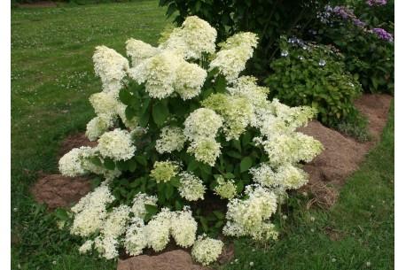 Hydrangea paniculata DENTELLE DE GORRON ® 'Rencri'