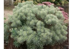 Euphorbia characias SILVER SWAN 'Wilcot'