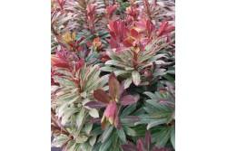 Euphorbia 'Helena'®