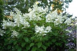 Hydrangea Paniculata WHITE LADY