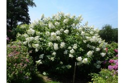 Hydrangea Paniculata OCTOBER BRIDE