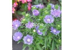 Stokesia laevis 'MELS BLUE'