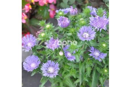 Stokesia MEL S BLUE