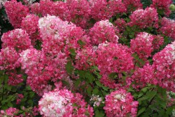 Hydrangea paniculata DIAMANT ROUGE ® 'Rendia'