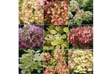 Hydrangea paniculata PASTELGREEN ® 'Rencolor'