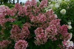 Hydrangea Paniculata WIM S RED