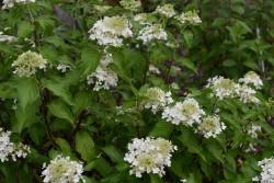 Hydrangea Paniculata PERLE D'AUTOMNE