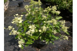 Hydrangea paniculata PRIM'WHITE ® 'Dolprim'