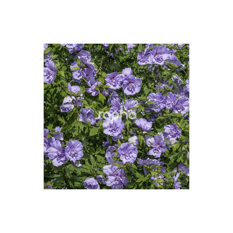 Hibiscus Syriacus Blue Chiffon Notwoodthree Pépinières Renault