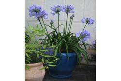 Agapanthus x PITCHOUNE® Blue 'Scrarey09'
