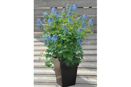 Corydalis x BLUE LINE® 'Couriblue'