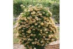 Abelia grandiflora Gold Touch 'Bmr Gold'
