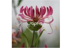 Lonicera periclymenum CAPRILIA ® IMPERIAL 'Inov86'