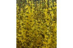 Forsythia WEEK-END® 'Courtalyn'
