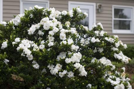 Gardenia augusta 'Crown Jewel'